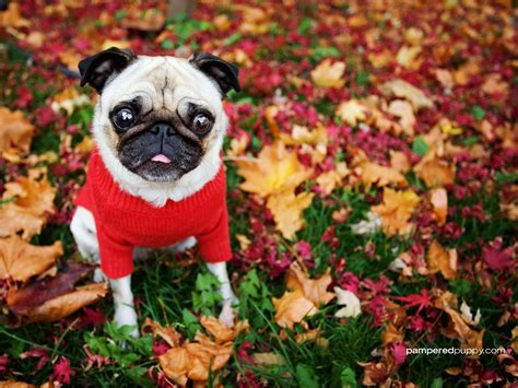 fall pug pug and pug papa september 2010