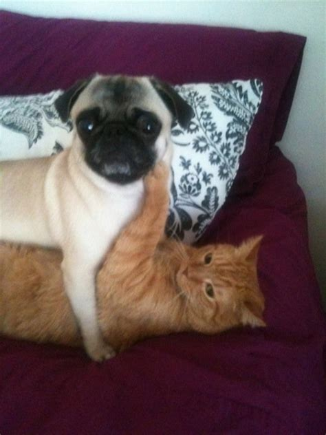 pug captions for instagram pug cat busted a caption contest by ebl