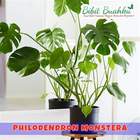 Tanaman Monstera Deliciosa best 25 philodendron monstera ideas on plants