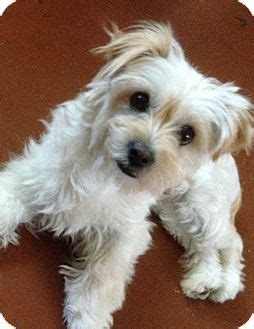 maltese yorkie mix puppies adoption twinkie adopted la quinta ca maltese yorkie terrier mix