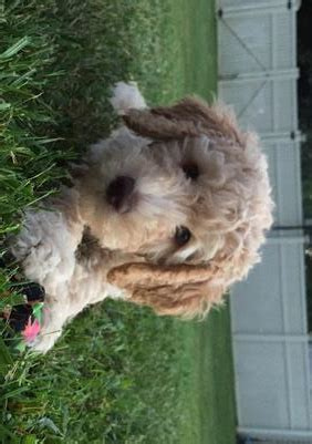 goldendoodle puppies knoxville tn loveable puppies best goldendoodles knoxville tn