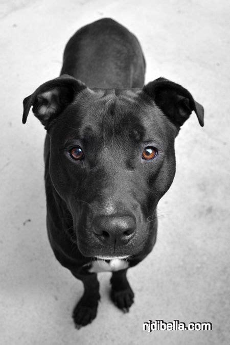 pitbull lab puppy pitbull lab mix images mojo the hes a black lab pit bull mix puppy