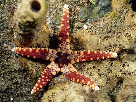 gambar wallpaper bintang laut gambar gambar bintang laut