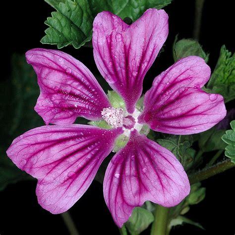 malva sylvestris high mallow go botany