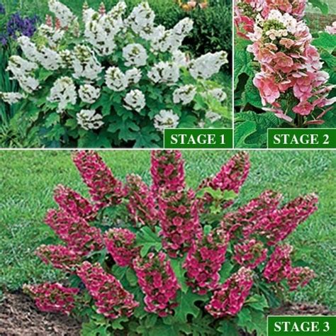 oakleaf hydrangea ruby slippers ruby slippers oakleaf hydrangea flowers and