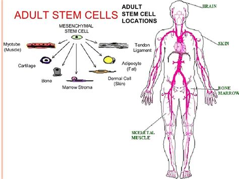 stem cells pros and cons of the research and application of stem cells
