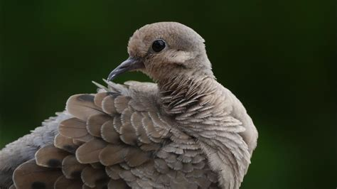 wat doesa brid dove look like what do doves look like reference