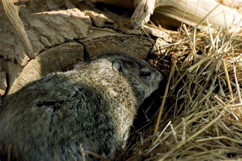 groundhog day quarry dan nicholas groundhog sees shadow on namesake