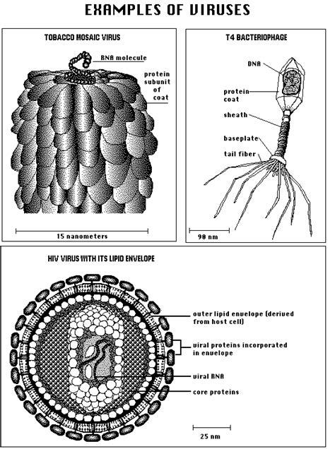 virus diagram biology biological diversity i