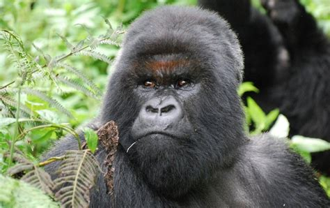 3 decades after dian fossey gorillas still extinction scientific american