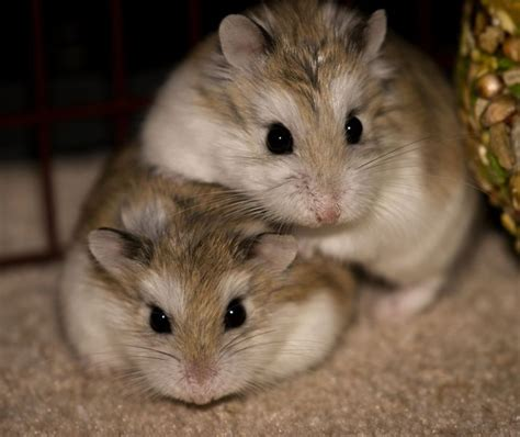 Best Seller Hamster Roborovski White Husky 95 best images about roborovski hamster on hamster hamsters and