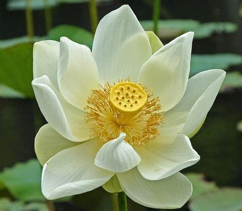 what is white lotus white lotus flower symbolism and meanings