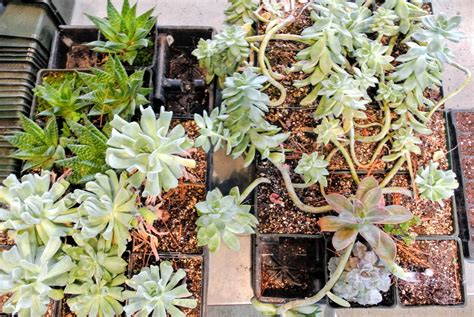 Whats New At The Succulent by Repotting Succulents In My Greenhouse The Martha Stewart
