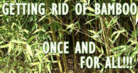 how do i get rid of bamboo in my backyard how to get rid of bamboo for good for our future home