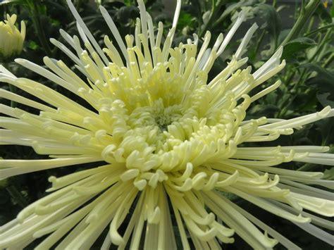 crisantemi in vaso crisantemi in vaso e recisi ortofiorito