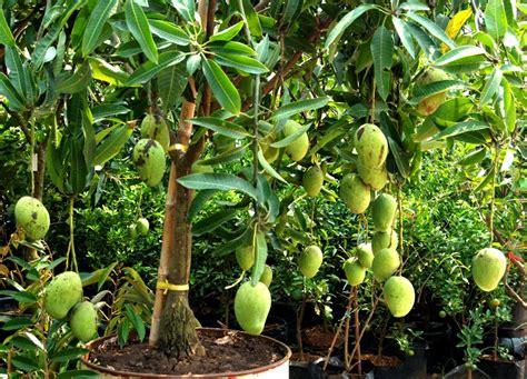 fakta unik mengenai tanaman buah mangga popular