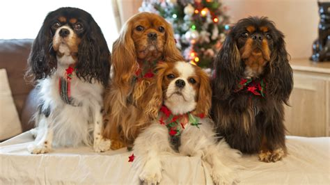 cavalier king charles spaniel colors about cavaliers the companion cavalier king charles