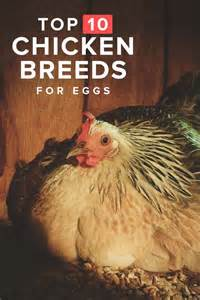 Raising Chickens For Eggs In Your Backyard 10 Best Egg Laying Chicken Breeds Up To 300 Per Year Chicken Laying Hens And The O Jays