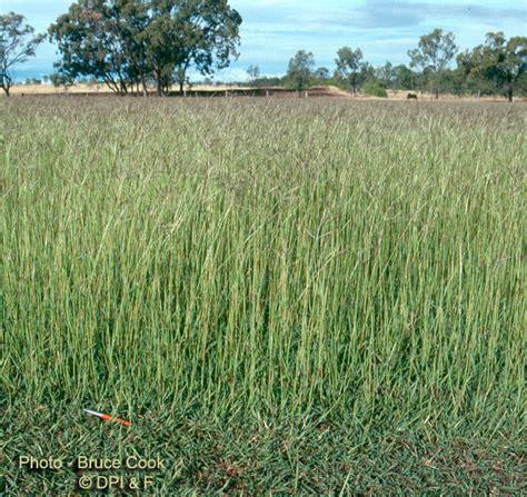 couch grass scientific name factsheet indian bluegrass