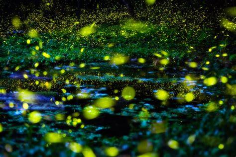 synchronized elkmont fireflies   smoky