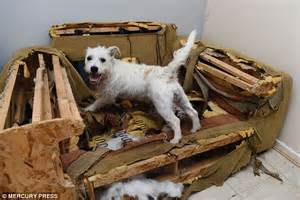 dog chewing couch warrington rescue pup destroys doors and a 163 2 000 sofa but