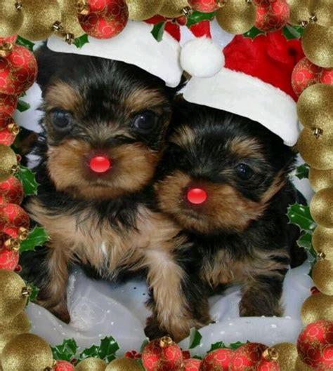 images of christmas yorkies christmas yorkies jamie s board pinterest renne