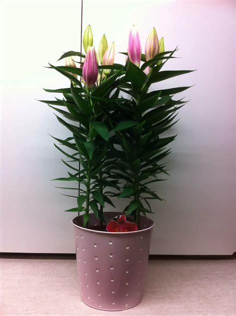 le lys de brooklyn fleuriste isabelle feuvrier le lys en pot