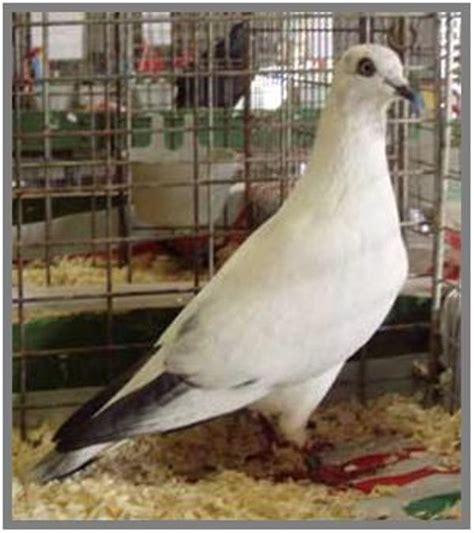 Skrup Burung Setengah Bulat No 8 vienna highflyer merpati hias fancy pigeon