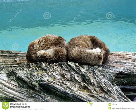 otter schlafen nordamerika otter lizenzfreie stockbilder bild 139309