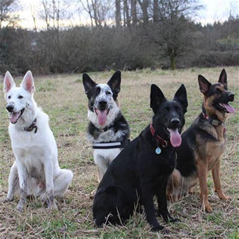 german shepard colors german shepherd breed