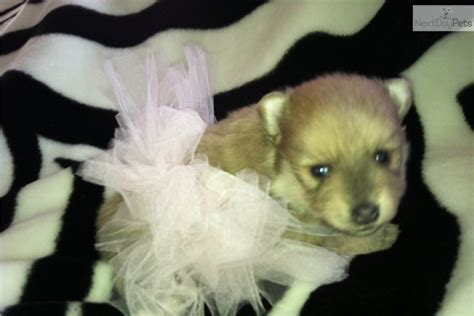 lavender pomeranian pomeranian puppy for sale near southeast ks kansas 6377e9e8 c701