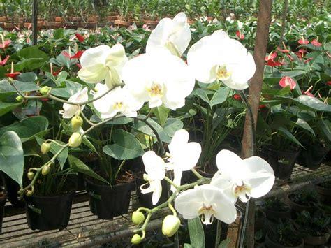Tanaman Bunga Anggrek Tanah All Tipe 1 bisnis budidaya tanaman hias bunga anggrek orchid aglaonema adenium buy orchids product on