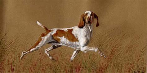 italian setter dog bracco italiano hunting dogs pinterest