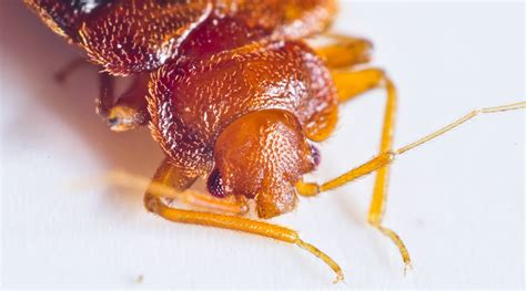 bed bugs nyc how bed bugs spread pest control long island nyc