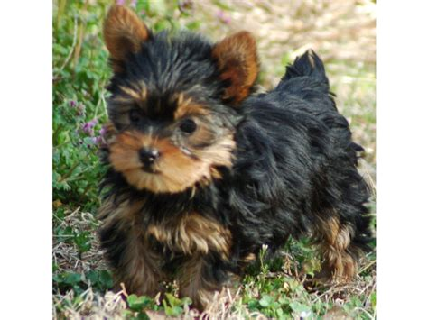yorkie puppies california puppies for sale terrier yorkie terriers yorkies yorkshires