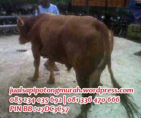 Daftar Bibit Sapi Limosin sapi potong peternakan sapi jual sapi murah jual sapi