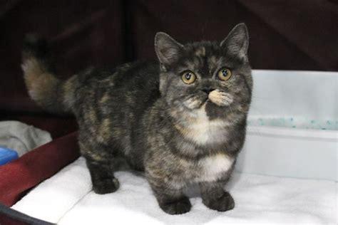 cat breeders munchkin cat breeders websites kittysites