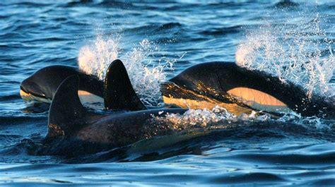 Hiasan Aquarium Orca Seal vancouver aquarium cetaceans