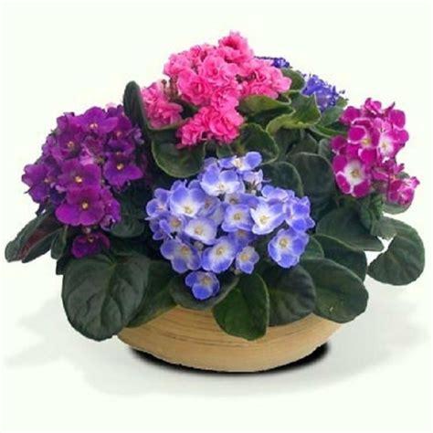 como cuidar de violetas africanas cuidados violeta africana facilisimo com