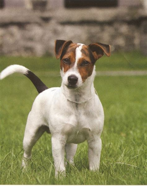 imagenes de perros jack rusell jack russell terrier perro exelente taringa