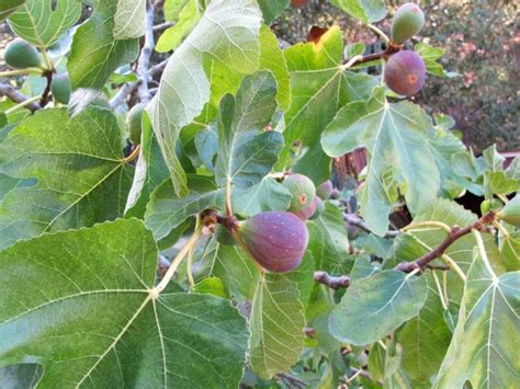 why is my fig tree not producing fruit diary of a nobody