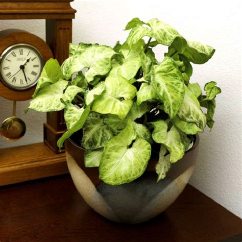 indoor vine plant 11 best indoor vines and climbers you can grow easily in