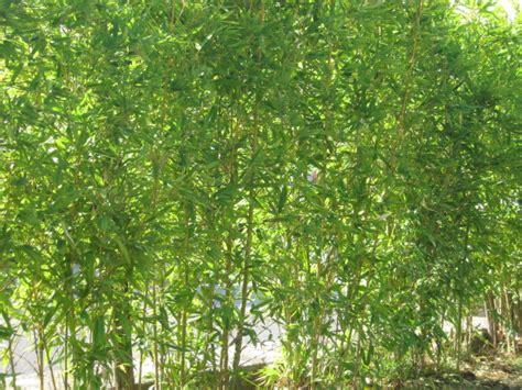 Siepe A Crescita Rapida by La Finestra Di Stefania La Siepe Di Bamb 249 Bambusa A