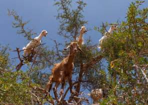 argan tree goats in morocco
