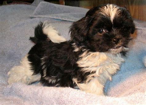 shih tzu pekingese poodle mix pekingese poodle mix hair pekingese pomeranian poodle mix www pixshark