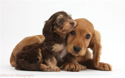 puppies and dogs daxiedoodle and golden cocker spaniel puppies photo wp36706