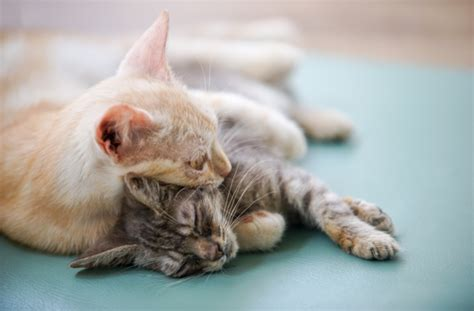 8 Signs Youre Ready To Get A Puppy by 8 Signs You Re Ready For Another Cat Pawculture