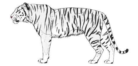 How To Draw A Simple Tiger Step By Step