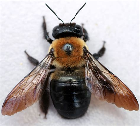 three wood damaging insects to watch termites carpenter ants carpenter bees