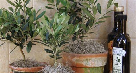 pianta ulivo in vaso coltivare ulivo in vaso piante in giardino consigli